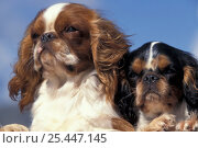 Domestic dog, two Cavalier King Charles Spaniels. Стоковое фото, фотограф Adriano Bacchella / Nature Picture Library / Фотобанк Лори