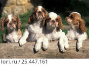 Domestic dog, four Cavalier King Charles Spaniel puppies with log. Стоковое фото, фотограф Adriano Bacchella / Nature Picture Library / Фотобанк Лори
