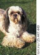 Купить «Domestic dog - Shih Tzu lying on grass with facial hair cut short and showing hairy paws.», фото № 25447449, снято 20 августа 2018 г. (c) Nature Picture Library / Фотобанк Лори
