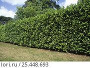Купить «Cherry Laurel hedge (Prunus laurocerasus), UK.», фото № 25448693, снято 19 августа 2018 г. (c) Nature Picture Library / Фотобанк Лори