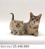 Купить «Domestic Cat {Felis catus} Burmese mother 'Bella' with her lilac kitten.», фото № 25448889, снято 28 мая 2018 г. (c) Nature Picture Library / Фотобанк Лори