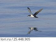 Купить «Manx shearwater (Puffinus puffinus) flying over calm sea, Isle of Staffa, Treshnish Isles, Scotland UK. June 2006», фото № 25448905, снято 17 июля 2018 г. (c) Nature Picture Library / Фотобанк Лори