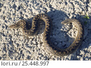 Sand Boa snake (Eryx jaculus) Bulgaria. Стоковое фото, фотограф Kerstin Hinze / Nature Picture Library / Фотобанк Лори