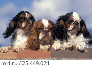 Domestic dog, three Cavalier King Charles Spaniels on wall. Стоковое фото, фотограф Adriano Bacchella / Nature Picture Library / Фотобанк Лори