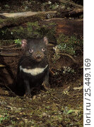 Купить «Tasmanian devil {Sarchopilus harrisii} juvenile emerging from den in rainforest, Tasmania, Australia», фото № 25449169, снято 20 января 2020 г. (c) Nature Picture Library / Фотобанк Лори