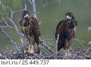 Juvenile Harris's Hawks (Parabuteo unicinctus), 5 weeks, in nest in Mesquite tree, Willacy County, Rio Grande Valley, Texas, USA. May 2004. Стоковое фото, фотограф Rolf Nussbaumer / Nature Picture Library / Фотобанк Лори
