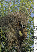 Купить «Great Kiskadee (Pitangus sulphuratus) feeding chicks in nest in a willow tree, Welder Wildlife Refuge, Sinton, Texas, USA. June 2005», фото № 25449781, снято 21 августа 2018 г. (c) Nature Picture Library / Фотобанк Лори