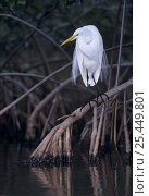 Great Egret (Ardea alba) perched on root of Manrove tree, Ding Darling National Wildlife Refuge, Sanibel Island, Florida, USA, Devember 1998. Стоковое фото, фотограф Rolf Nussbaumer / Nature Picture Library / Фотобанк Лори