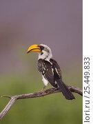 Купить «Yellow billed hornbilll {Tockus flavirostris} Samburu National Reserve, Kenya, Africa.», фото № 25449833, снято 17 июня 2019 г. (c) Nature Picture Library / Фотобанк Лори