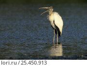 American Wood Ibis / Wood Stork (Mycteria americana) with beak open, Sanibel Island, Florida, USA. December 1998. Стоковое фото, фотограф Rolf Nussbaumer / Nature Picture Library / Фотобанк Лори