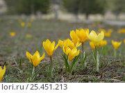 Купить «Wild Crocus flowers {Crocus sp.} Beysehir, Turkey.», фото № 25451213, снято 20 октября 2019 г. (c) Nature Picture Library / Фотобанк Лори