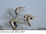 Купить «Greylag Geese (Anser anser) in flight, Gloucestershire UK», фото № 25451341, снято 7 апреля 2020 г. (c) Nature Picture Library / Фотобанк Лори