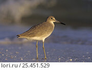 Willet (Tringa semipalmatus) with winter plumage, Sanibel Island, Florida, USA. December 1998. Стоковое фото, фотограф Rolf Nussbaumer / Nature Picture Library / Фотобанк Лори