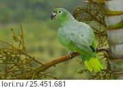 Купить «Mealy Amazon parrot (Amazona farinosa) Amazon Rain Forest. ECUADOR.», фото № 25451681, снято 26 марта 2019 г. (c) Nature Picture Library / Фотобанк Лори