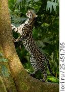 Купить «Ocelot (Felis / Leopardus pardalis) Amazon Rainforest, Ecuador captive», фото № 25451705, снято 19 июля 2019 г. (c) Nature Picture Library / Фотобанк Лори