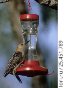 Купить «Male Golden-fronted Woodpecker (Melanerpes aurifrons) drinking from Hummingbird feeder, Willacy County, Rio Grande Valley, Texas, USA. May 2004», фото № 25451789, снято 19 августа 2018 г. (c) Nature Picture Library / Фотобанк Лори