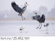 Купить «Grey Herons (Ardea cinerea) leaping into the air above the frozen river Preenestorm, Mecklenburg-Vorpommern, Wolgast, Peenestrom, Germany», фото № 25452161, снято 6 декабря 2019 г. (c) Nature Picture Library / Фотобанк Лори