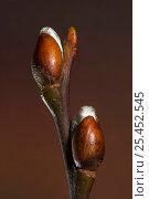 Купить «Goat willow (Salix caprea) opening buds in spring, UK», фото № 25452545, снято 28 января 2020 г. (c) Nature Picture Library / Фотобанк Лори
