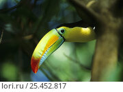 Купить «Keel-billed Toucan (Ramphastos sulfuratus) portrait, South America», фото № 25452817, снято 24 октября 2019 г. (c) Nature Picture Library / Фотобанк Лори