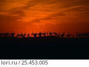 Купить «Flock of Demoiselle Cranes {Anthropoides virgo} silhouette on ridge at sunset, Rajasthan, India», фото № 25453005, снято 30 марта 2020 г. (c) Nature Picture Library / Фотобанк Лори