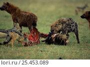 Купить «Spotted hyaena {Crocuta crocuta} and Black backed jackals {Canis mesomelas} aon wildebeest carcass, Masai Mara reserve, Kenya», фото № 25453089, снято 11 июля 2020 г. (c) Nature Picture Library / Фотобанк Лори