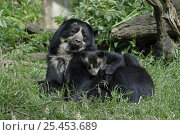 Купить «Spectacled bear {Tremarctos ornatus} mother with 3-month cub, captive. occurs South America», фото № 25453689, снято 8 мая 2020 г. (c) Nature Picture Library / Фотобанк Лори
