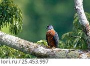 Купить «Double-toothed Kite {Harpagus budentatus fasciatus} Yasuni National Park, Ecuador.», фото № 25453997, снято 23 марта 2019 г. (c) Nature Picture Library / Фотобанк Лори