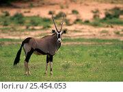 Gemsbok {Oryx gazella} Kgalagadi transfrontier NP, South africa. Стоковое фото, фотограф Pete Oxford / Nature Picture Library / Фотобанк Лори