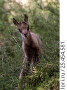Juvenile Pyrenean Chamois / Isard {Rupicapra rupricapra pyrenaica}, France. Стоковое фото, фотограф Dave Watts / Nature Picture Library / Фотобанк Лори