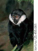 Купить «L'Hoest's monkey {Cercopithecus l'houesti} captive, from central Africa», фото № 25455081, снято 14 ноября 2019 г. (c) Nature Picture Library / Фотобанк Лори