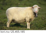 Domestic sheep with bell around neck {Ovis aries} Switzerland. Стоковое фото, фотограф John Cancalosi / Nature Picture Library / Фотобанк Лори