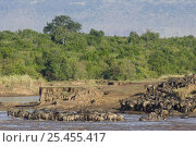 Купить «Wildebeest {Connochaetes taurinus} on migration 