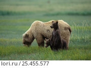 Купить «Kodiak / Alaskan brown bear {Ursus arctos middendorffi} mother grazing in sedge grass meadow with alert 4-6 months cubs, Katmai NP, Alaska, USA», фото № 25455577, снято 13 декабря 2017 г. (c) Nature Picture Library / Фотобанк Лори