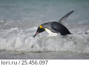 King penguin {Aptenodytes patagonicus} in shallow surf, switching from the horizontal swimming position to an upright walk, Falkland Islands. Стоковое фото, фотограф Solvin Zankl / Nature Picture Library / Фотобанк Лори