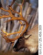 Reindeer {Rangifer tarandus} in Saami enclosure Vindelfjallen NR, Lapland, Стоковое фото, фотограф Staffan Widstrand / Nature Picture Library / Фотобанк Лори