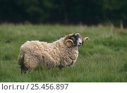 Купить «Domestic sheep, Black faced tup / ram {Ovis aries} Aviemore, Scotland, UK», фото № 25456897, снято 16 января 2019 г. (c) Nature Picture Library / Фотобанк Лори