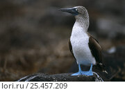 Купить «Portrait of Blue footed booby (Sula nebouxii excisa) on rock, Galapagos, Ecuador», фото № 25457209, снято 22 октября 2018 г. (c) Nature Picture Library / Фотобанк Лори