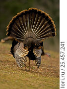 Rear view of male Wild Turkey {Meleagris gallopavo} displaying, NY... Стоковое фото, фотограф John Cancalosi / Nature Picture Library / Фотобанк Лори