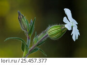 Купить «White campion {Silene latifolia} flower, La Brenne, France.», фото № 25457377, снято 22 августа 2018 г. (c) Nature Picture Library / Фотобанк Лори