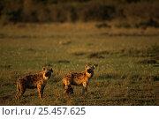 Two Spotted hyaenas {Crocuta crocuta} Masai Mara NR, Kenya, East Africa. Стоковое фото, фотограф Staffan Widstrand / Nature Picture Library / Фотобанк Лори