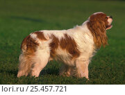 Cavalier King Charles spaniel show stack pose, tail docked. Стоковое фото, фотограф Adriano Bacchella / Nature Picture Library / Фотобанк Лори