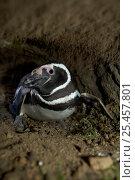 Купить «Magellanic penguin {Spheniscus magellani} in excavated burrow, Falkland Islands.», фото № 25457801, снято 2 июля 2020 г. (c) Nature Picture Library / Фотобанк Лори