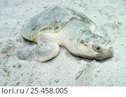 Kemp's ridley turtle on artificial beach, Miami, USA {Lepidochelys kempii} captive. Стоковое фото, фотограф Doug Perrine / Nature Picture Library / Фотобанк Лори