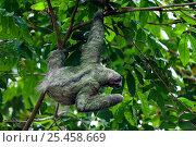 Купить «Three toed / Brown throated sloth {Bradypus variegatus} Manuel Antonio NP, Costa Rica.», фото № 25458669, снято 17 октября 2018 г. (c) Nature Picture Library / Фотобанк Лори