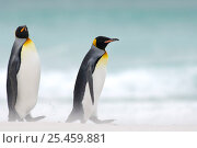 Two King penguins {Aptenodytes patagonicus} walking on beach, Falkland Islands. Стоковое фото, фотограф Solvin Zankl / Nature Picture Library / Фотобанк Лори