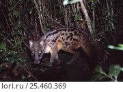 Malagasy civet / Fanaloka {Fossa fossana} Ranomafana NP, Madagascar. Стоковое фото, фотограф Nick Garbutt / Nature Picture Library / Фотобанк Лори