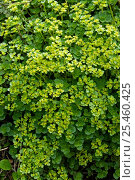 Купить «Opposite Leaved Golden Saxifrage {Chrysosplenium oppositifolium} Devon, UK», фото № 25460425, снято 19 июля 2018 г. (c) Nature Picture Library / Фотобанк Лори