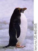 Portrait of Macaroni penguin (Eudyptes chrysolophus), Saunders Island, Falkland Islands. Стоковое фото, фотограф Pete Oxford / Nature Picture Library / Фотобанк Лори