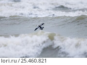 Купить «Smew {Mergus albellus} drake flying over rough sea, UK.», фото № 25460821, снято 27 мая 2020 г. (c) Nature Picture Library / Фотобанк Лори