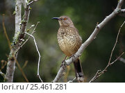 Купить «Curve billed thrasher (Toxostoma curvirostre) perched on branch, TX, USA», фото № 25461281, снято 12 июля 2020 г. (c) Nature Picture Library / Фотобанк Лори
